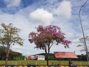 Pohon Tabebuya Mengeluarkan Bunga-bunga Indah Mirip Bunga Sakura